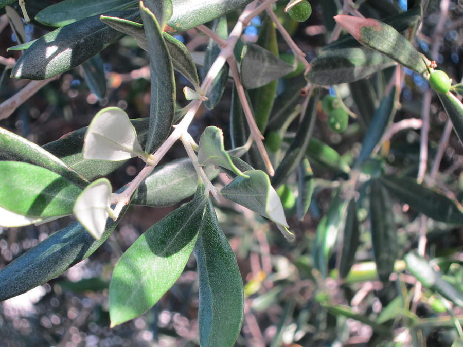 Olive Photograph - Young Olives by Pema Hou