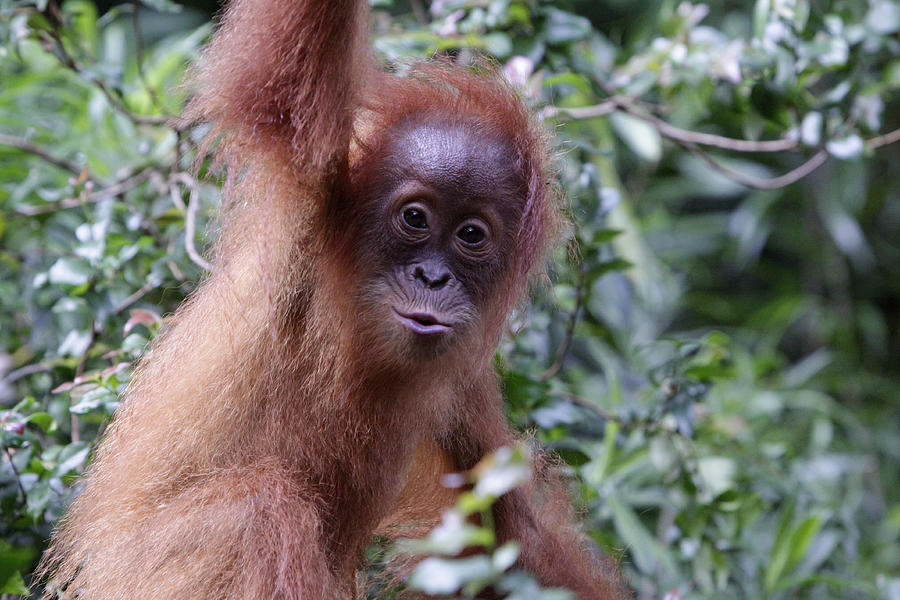 Young Orangutan Kiss Photograph