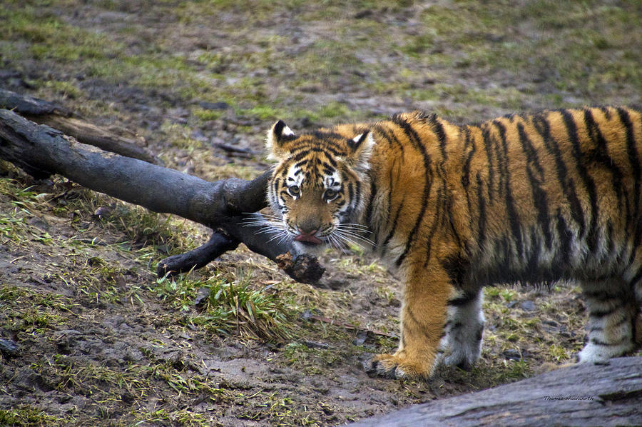Young Tiger Photograph