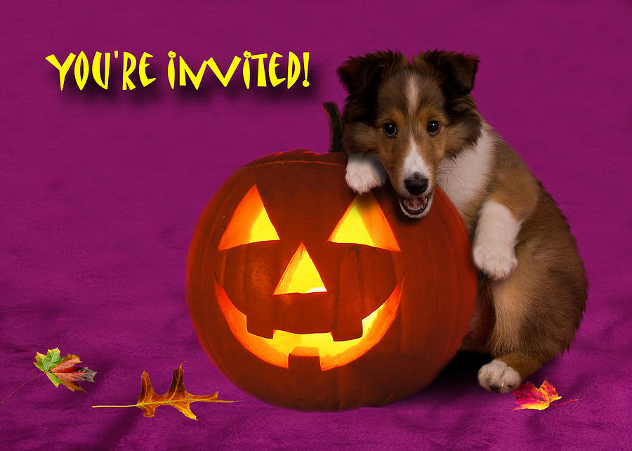 Youre Invited Shetland Sheepdog Photograph
