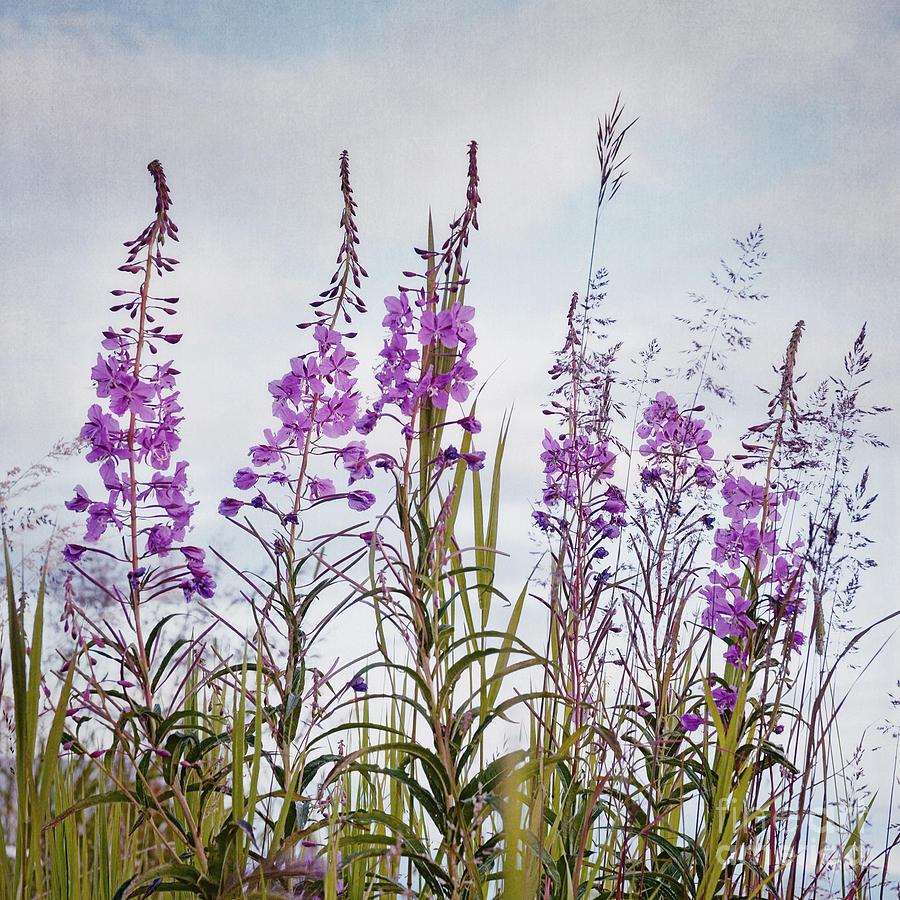 Yukon State Flower Photograph