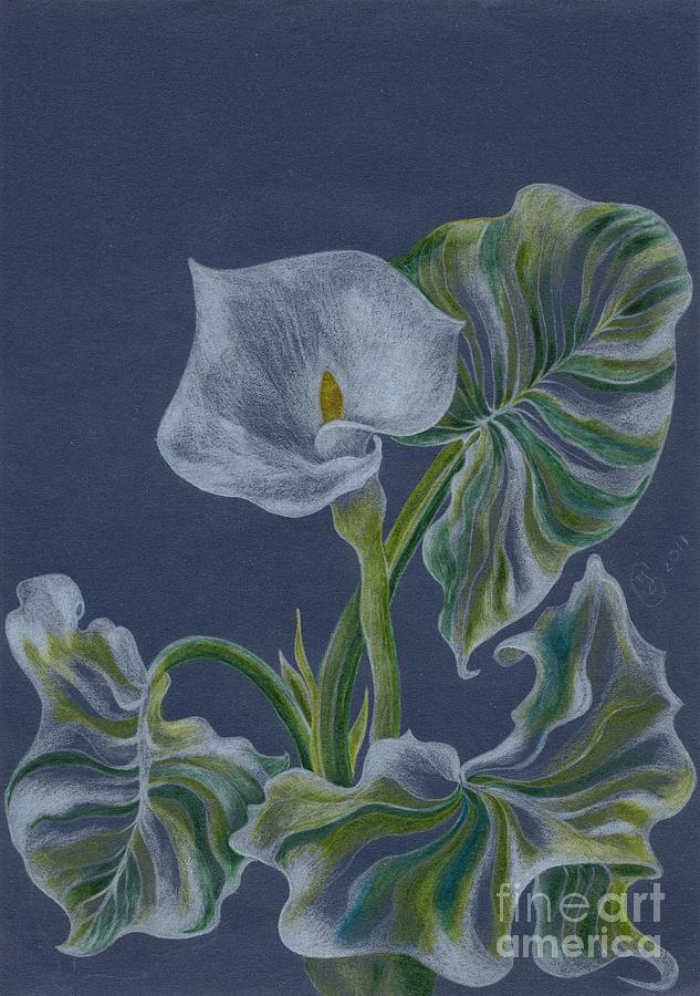 Zantedeschia  Drawing  - Zantedeschia  Fine Art Print