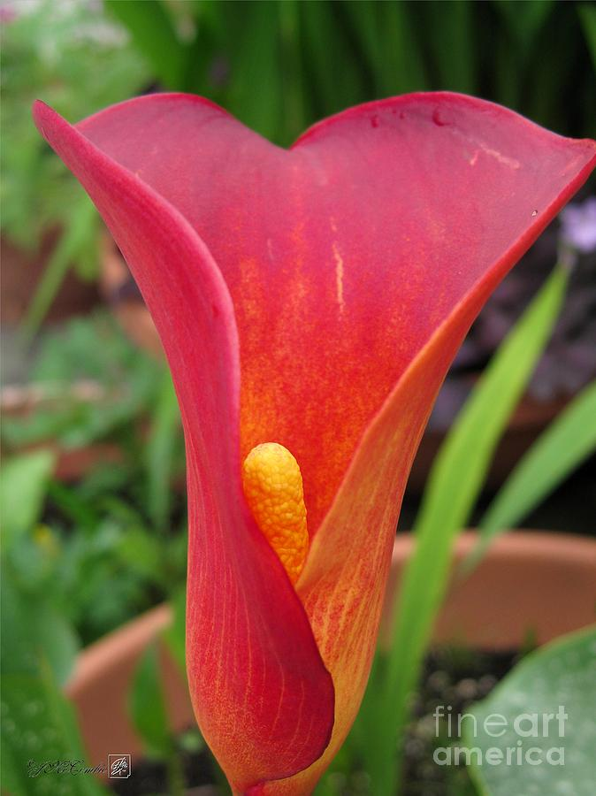 Zantedeschia Named Red Sox Photograph  - Zantedeschia Named Red Sox Fine Art Print