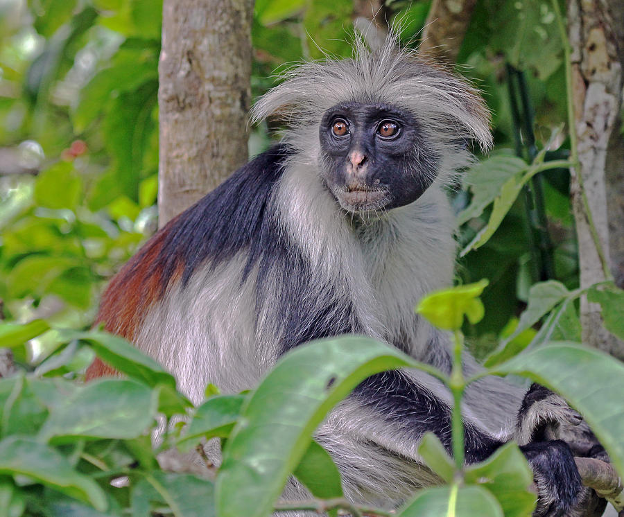 Zanzibar Red Colobus Monkey is a photograph by Tony Murtagh which was ...