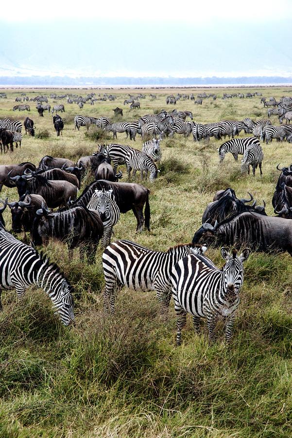 zebra and wildebeest symbiotic relationship