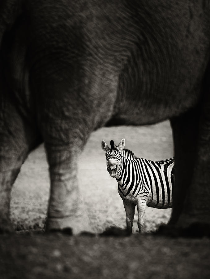 Wild Photograph - Zebra Barking by Johan Swanepoel