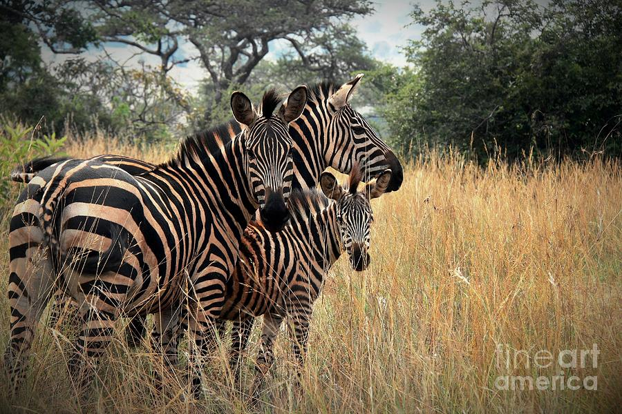 Zebra Family Photograph