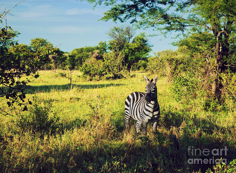 Zebra In Grass On African Savanna. Photograph