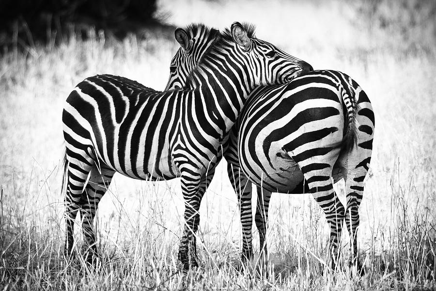3scape Photos Photograph - Zebra Love by Adam Romanowicz