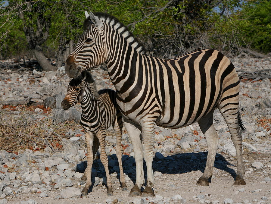 Zebra baby and mother - photo#8