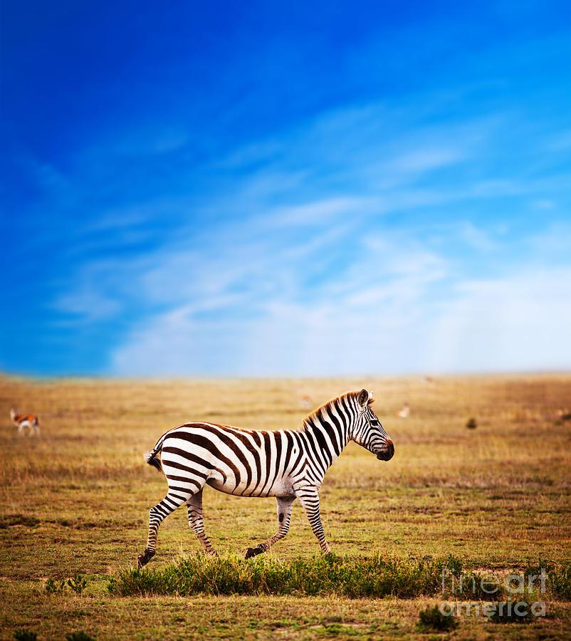 Zebra On African Savanna. Photograph