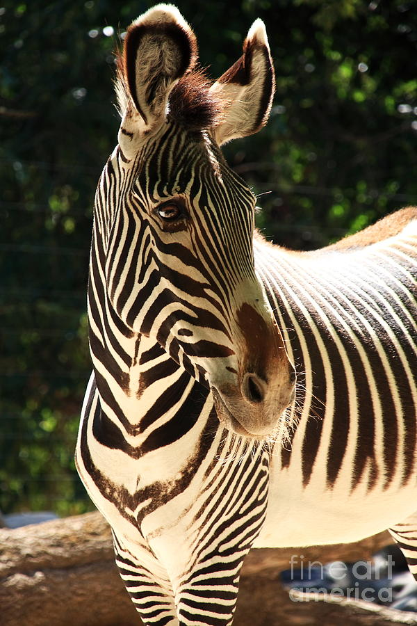 Zebra Portrait Photograph