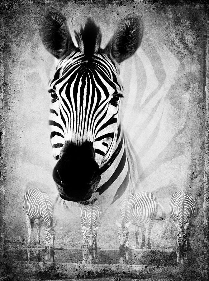 Zebra Profile In Bw Photograph
