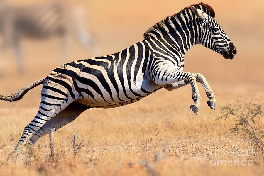 Zebra Running And Jumping Photograph