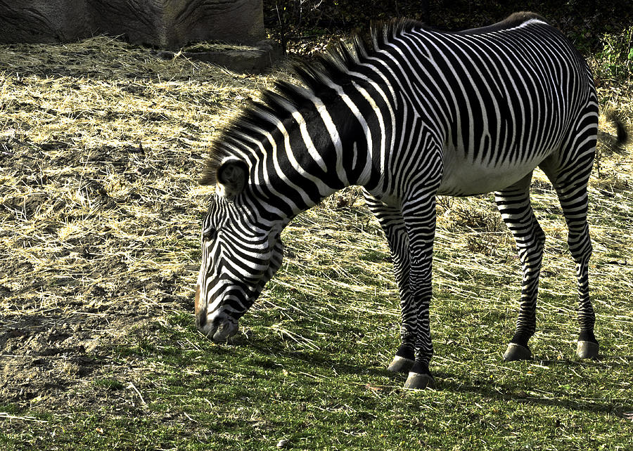 Usa Photograph - Zebra Striped Fourlegger by LeeAnn McLaneGoetz McLaneGoetzStudioLLCcom