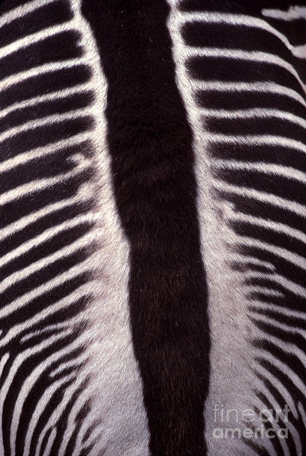 Zebra Stripes Closeup Photograph  - Zebra Stripes Closeup Fine Art Print