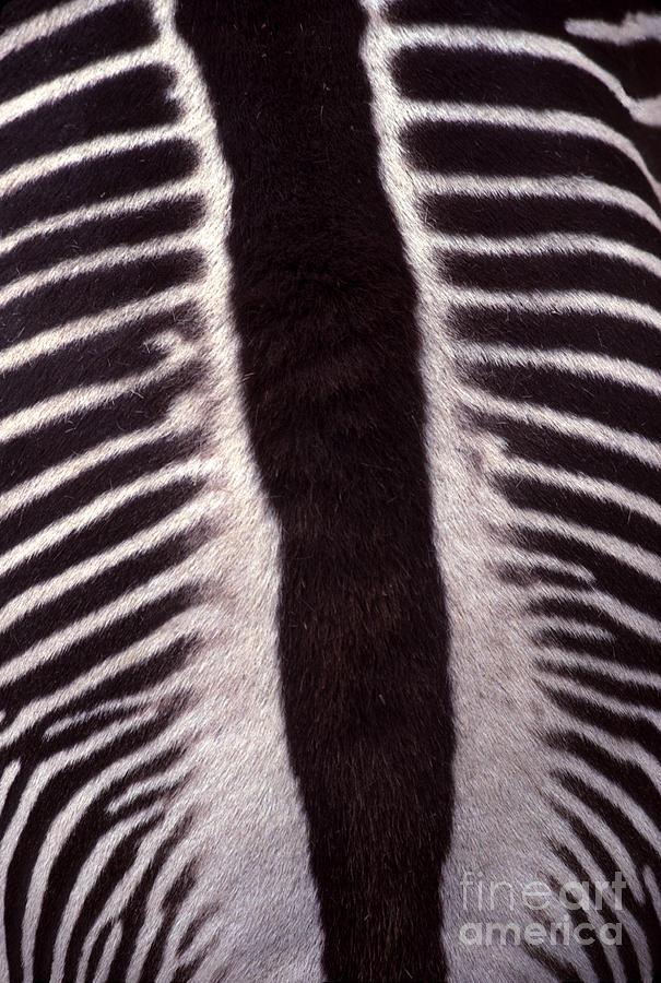 Zebra Stripes Closeup Photograph