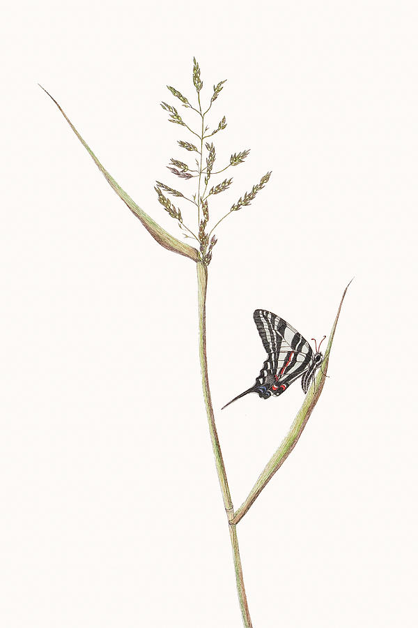 Zebra Swallowtail Butterfly Painting  - Zebra Swallowtail Butterfly Fine Art Print