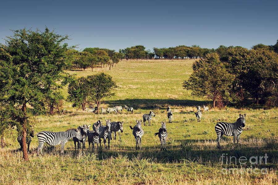 Zebras Herd On African Savanna. by Michal Bednarek