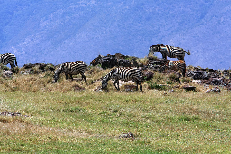 Zebras In The Ngorongoro Crater Tanzania Photograph  - Zebras In The Ngorongoro Crater Tanzania Fine Art Print