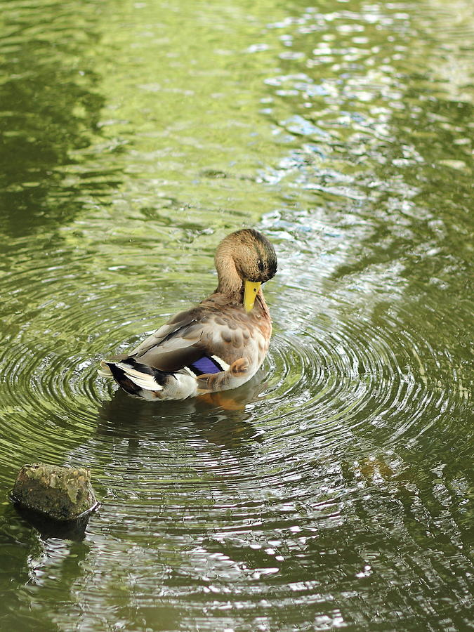 Zen Duck Photograph