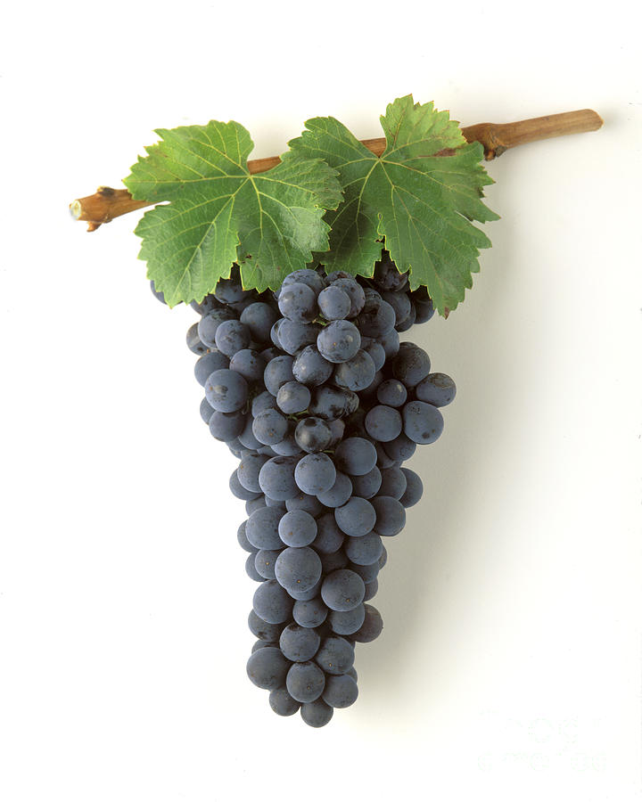 Zinfandel Cluster On White Photograph