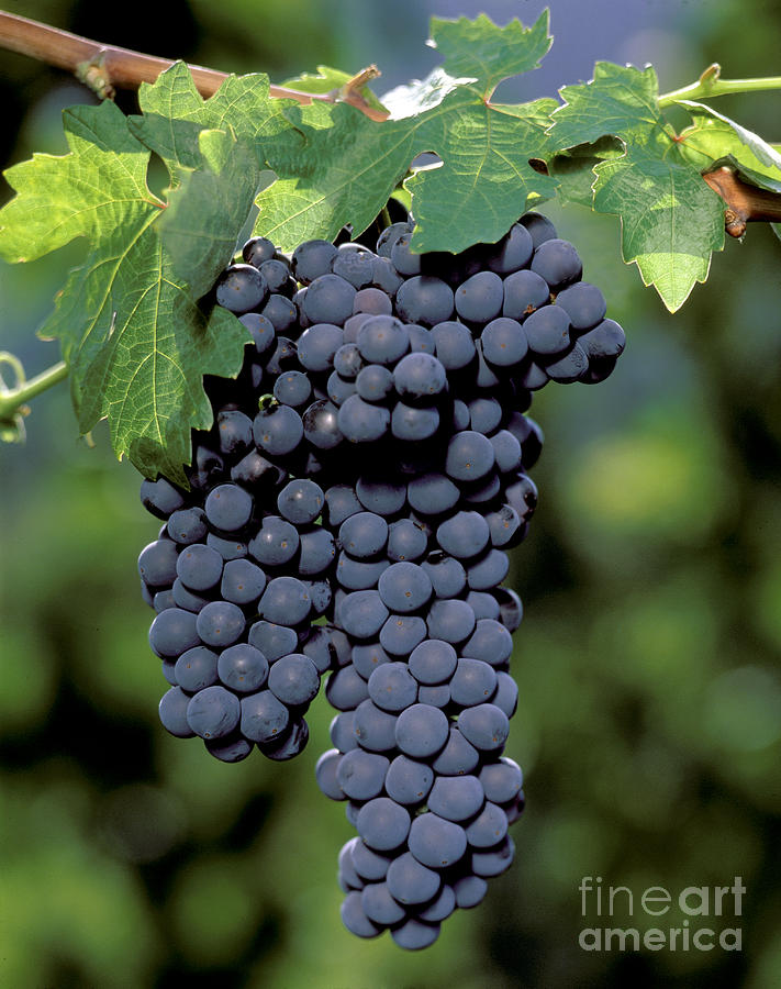 Cluster Photograph - Zinfandel Wine Grape Clusters by Craig Lovell