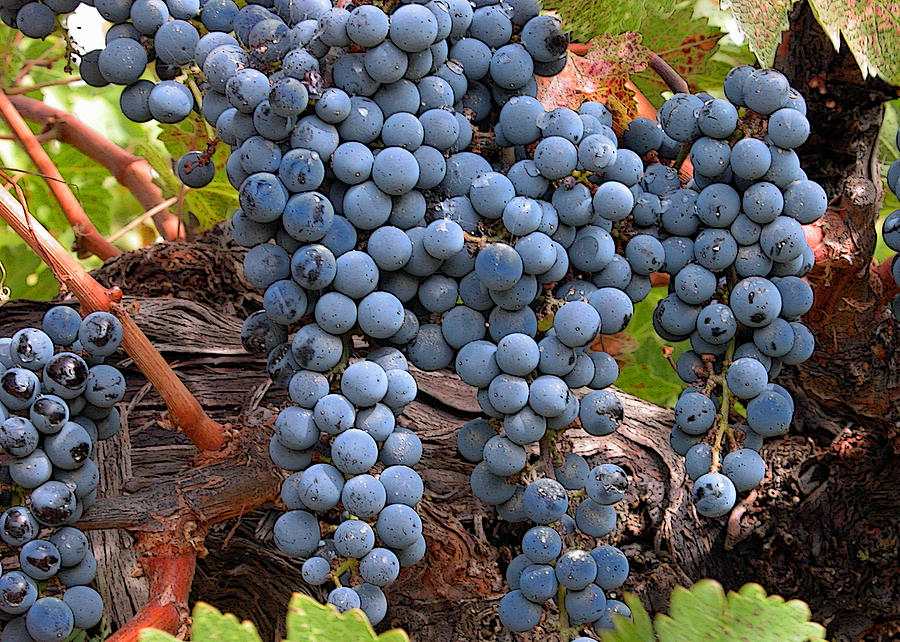 Zinfandel Wine Grapes Photograph  - Zinfandel Wine Grapes Fine Art Print
