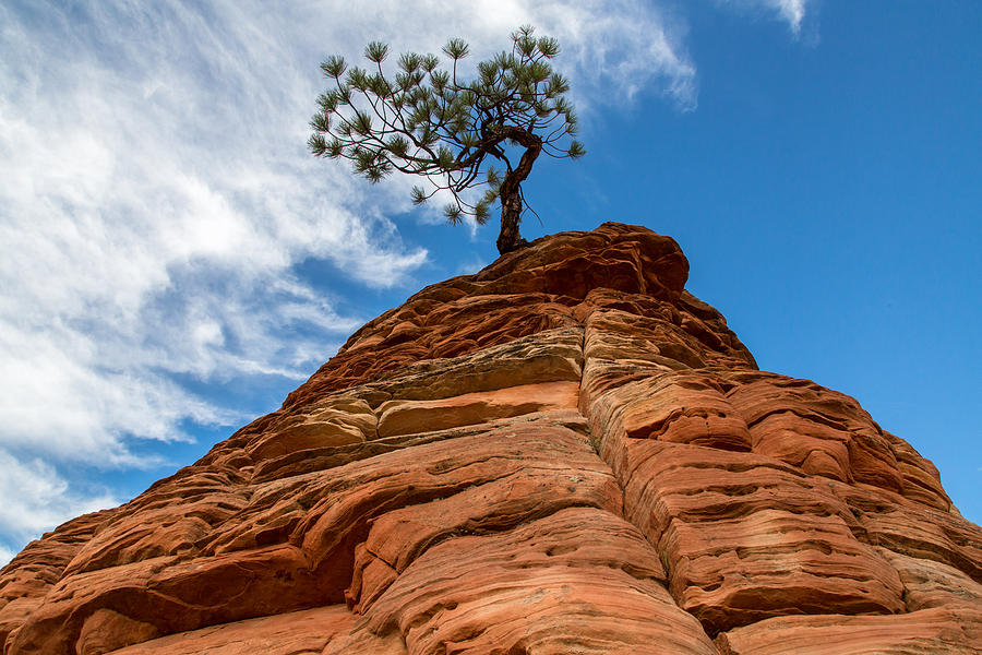 Zion Cypress Photograph
