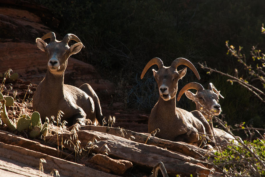 Zion National Park Mountain Sheep Checkerboard Mesa Utah Photograph