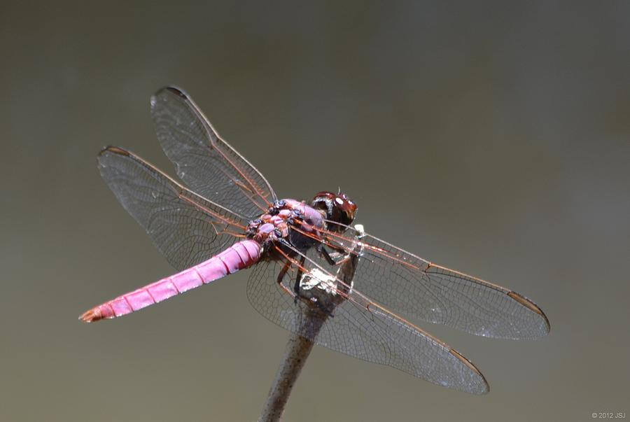 Zootography2 Pink Dragonfly Photograph