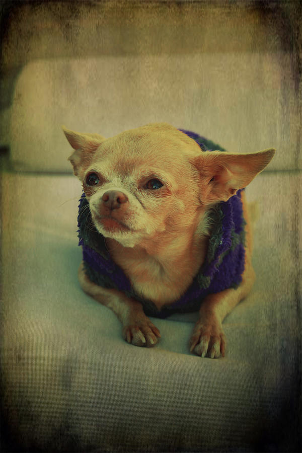 Chihuahuas Photograph - Zozo by Laurie Search