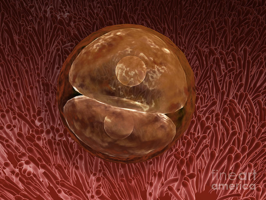Zygote Development 24-36 Hours Digital Art  - Zygote Development 24-36 Hours Fine Art Print
