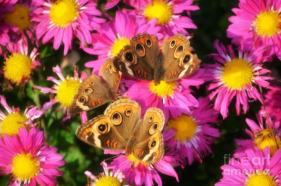 Landscape Photograph -  3 Beautys Butterflies On Mum Flowers by Peggy  Franz