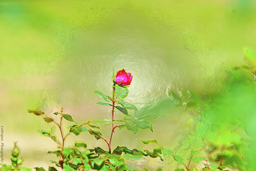 A Rose  Pyrography