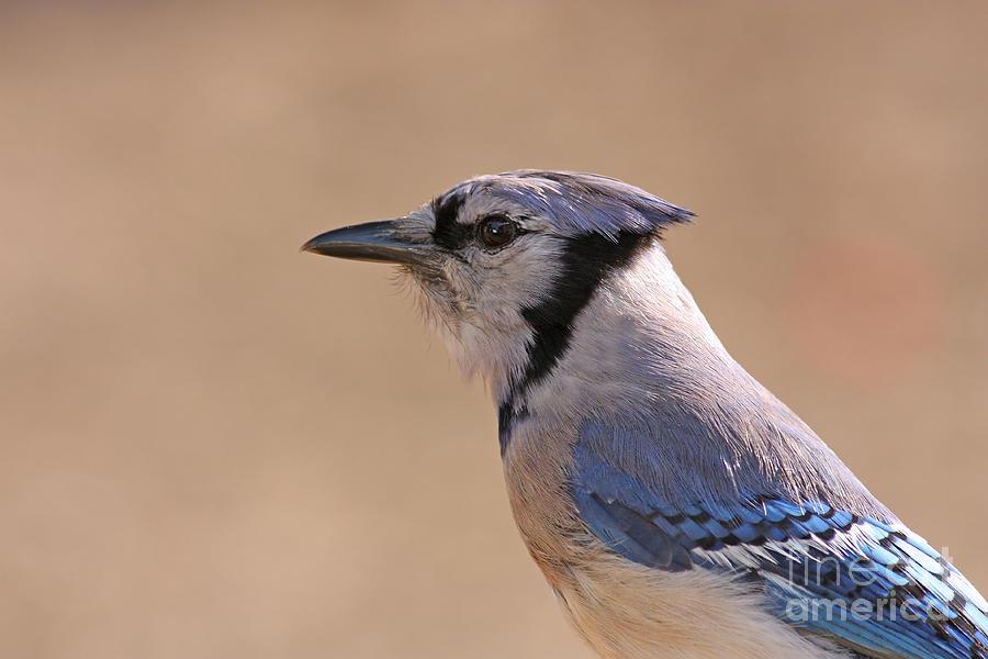 Blue Jay Pyrography -  Blue Jay Posing by David Cutts