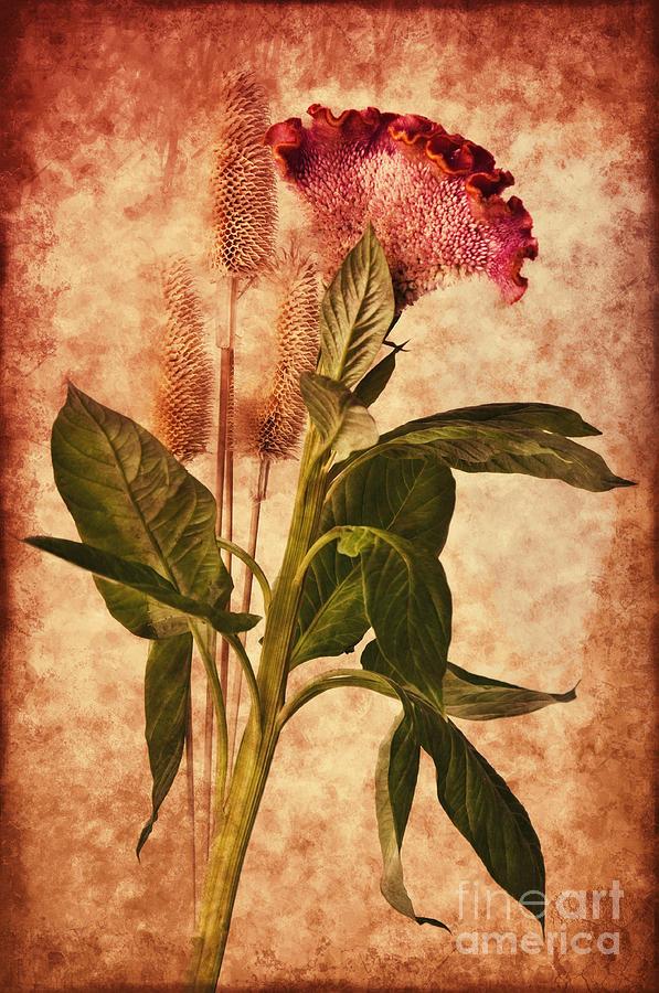 Celosia Photograph