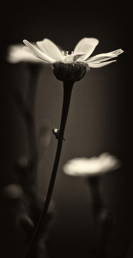 Abstract Photograph -  Dark Daisy  by Stelios Kleanthous