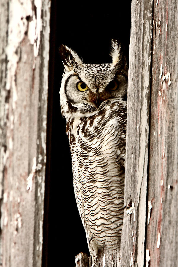 Great Horned Owl Perched In Barn Window Digital Art  -  Great Horned Owl Perched In Barn Window Fine Art Print