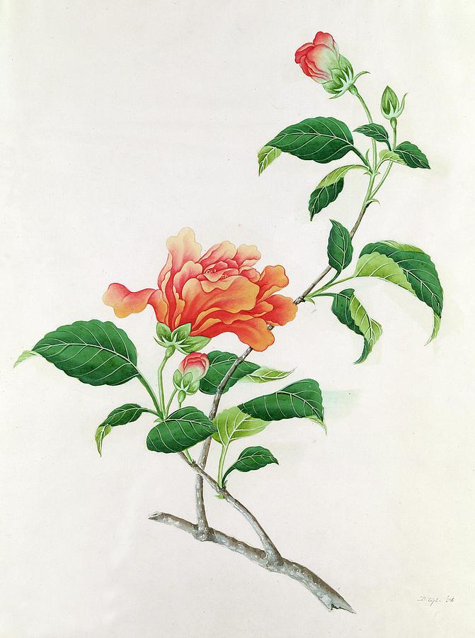 Orange; Flower; Plant; Bloom; Bud; Botanical Painting -  Hibiscus by Georg Dionysius Ehret