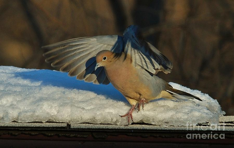Mourning Dove Safe Landing Photograph  -  Mourning Dove Safe Landing Fine Art Print