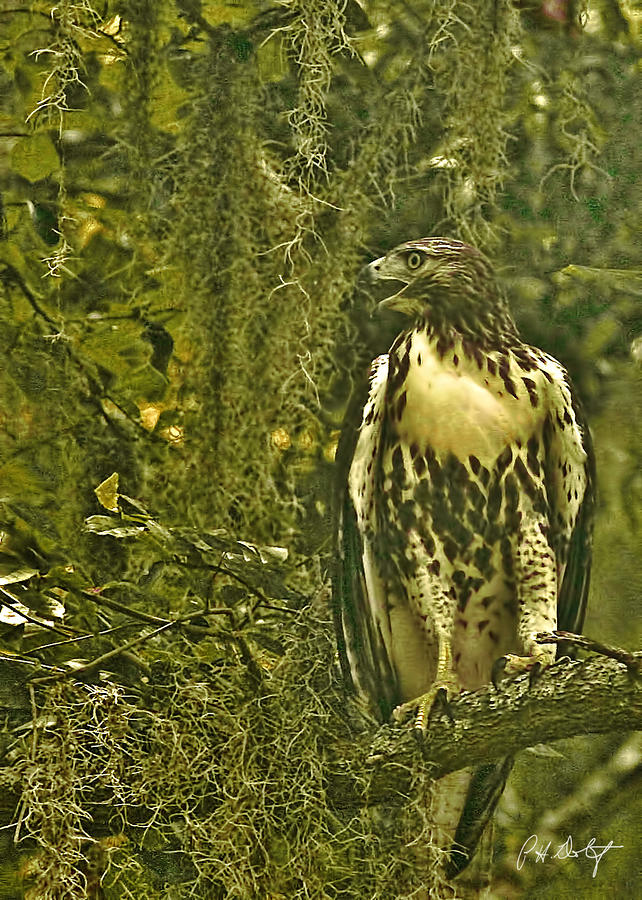 Red-tail Posing Photograph