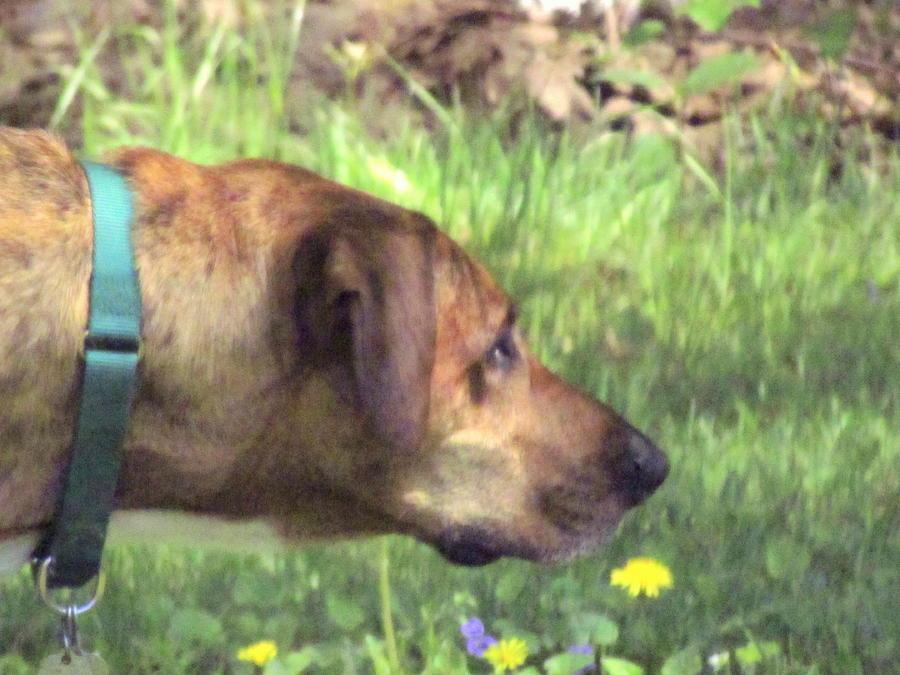 Sighthound At Work Photograph
