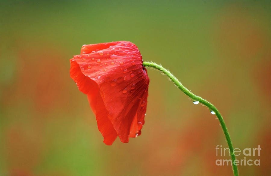 Solitary Poppy. Photograph  -  Solitary Poppy. Fine Art Print