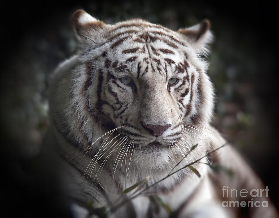 The Tigers  Watchful Eye Photograph