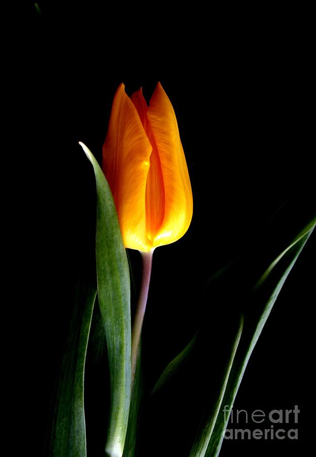 Tulip Fire Photograph  -  Tulip Fire Fine Art Print