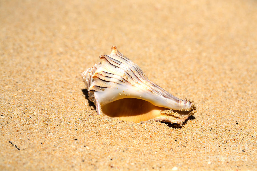 Whelk Sea Shell Photograph  -  Whelk Sea Shell Fine Art Print