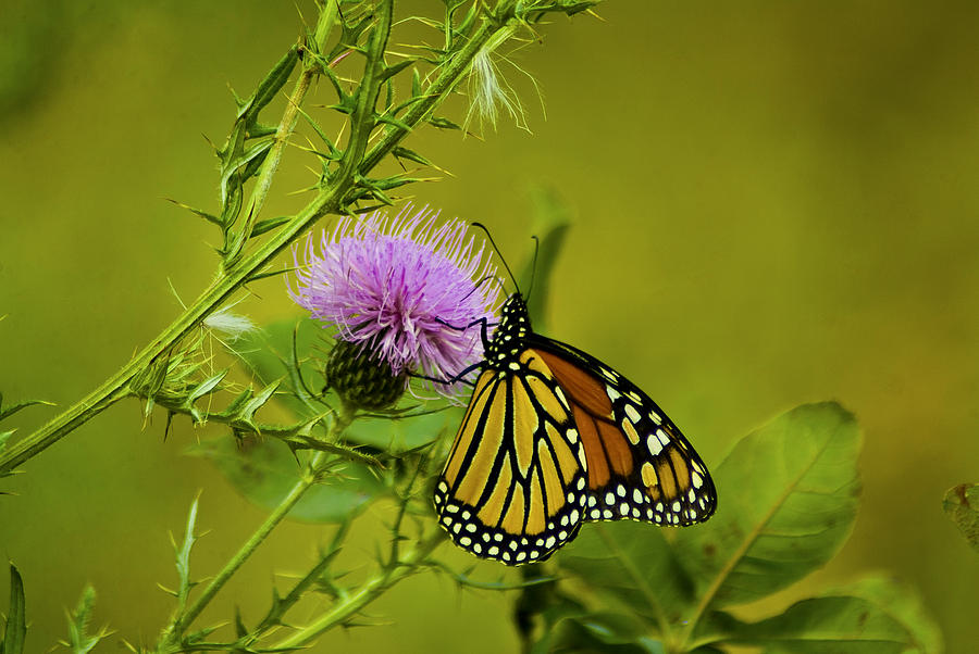 Monarch Photograph - 091712-138 by Mike Davis