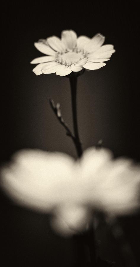 Dark Daisy  Photograph