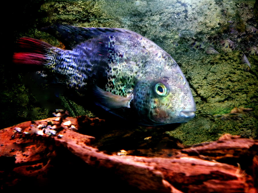 1 Fish Living In Denmark Photograph  - 1 Fish Living In Denmark Fine Art Print